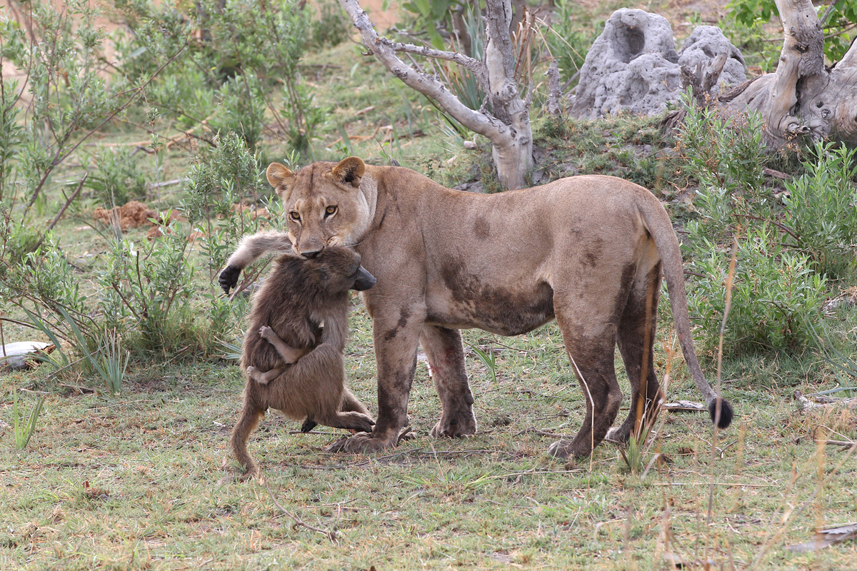A lioness holds the body of a dead baboon mother not knowing that a baby baboon is still holding on.