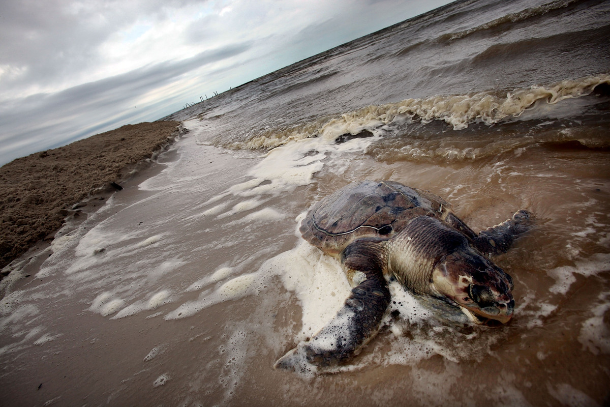 10 animals who are still hurting from the bp oil spill huffpost