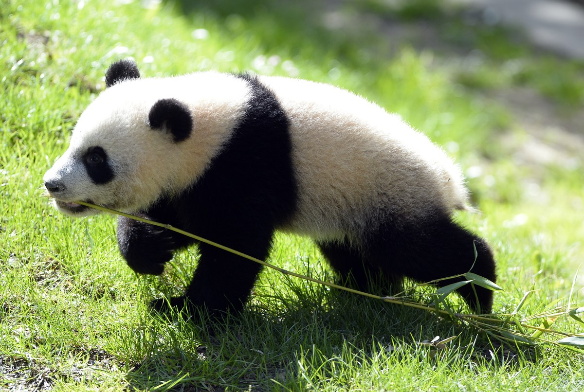 Seven-month-old giant panda Xing Bao (Treasure Star or Father's Treasure in Mandarin) explores its new enclosure at the Zoo A