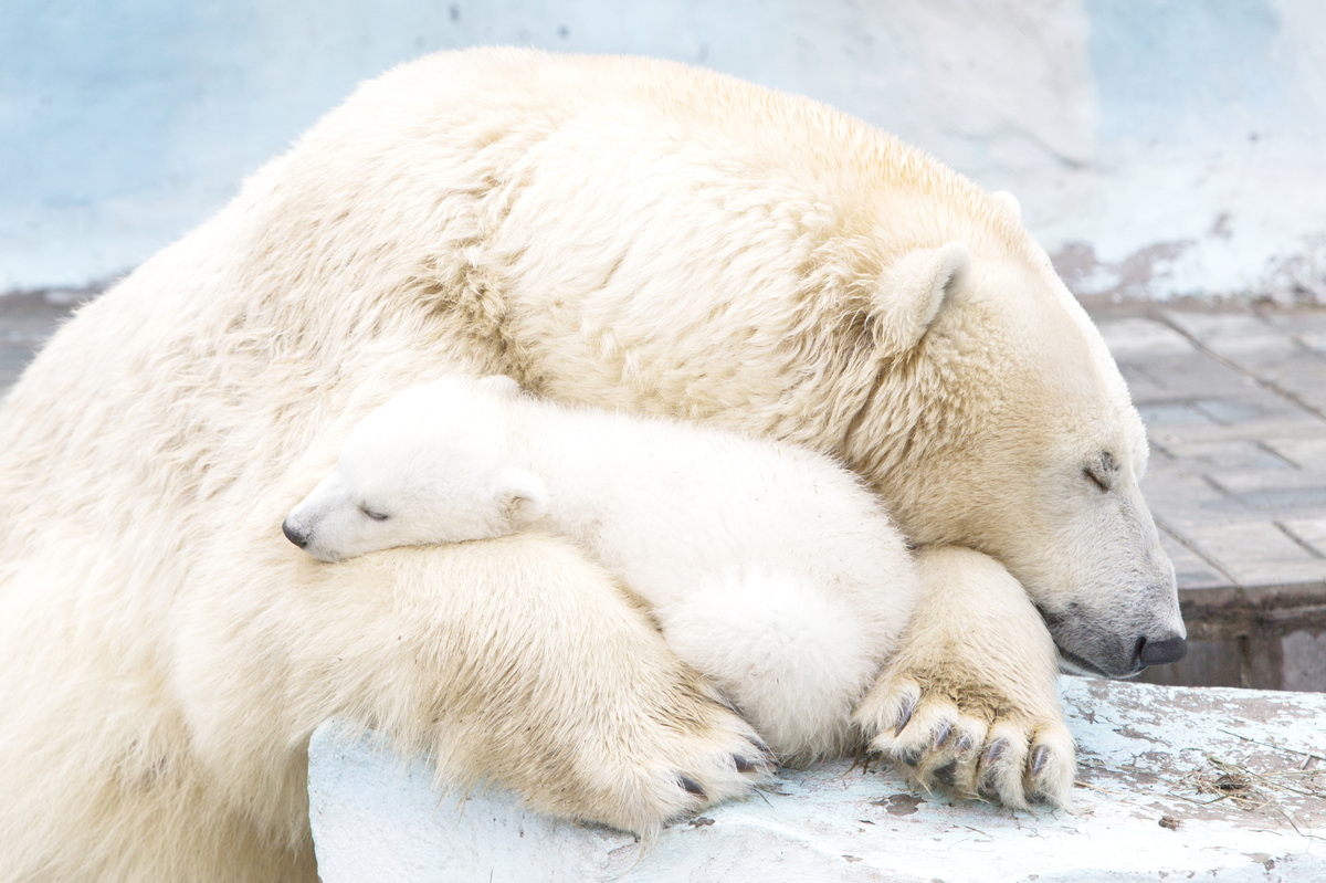 Polar bear Gerda, 6, with her cub