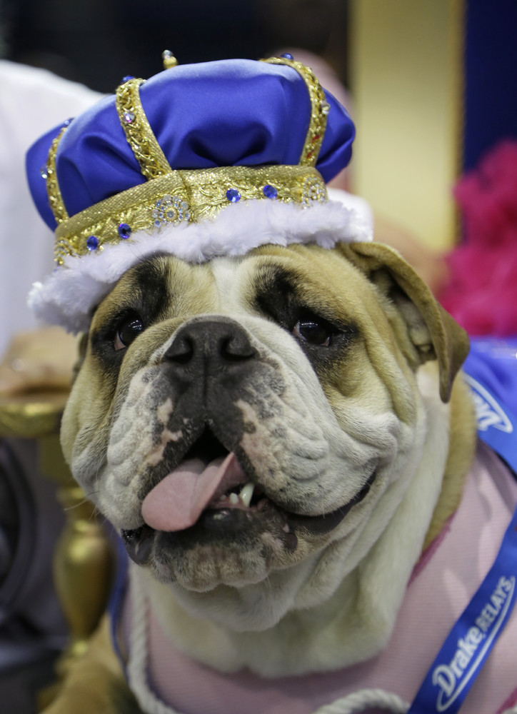 Lucey sits on the throne after being crowned the winner of the 35th annual Drake Relays Beautiful Bulldog Contest, Monday, Ap