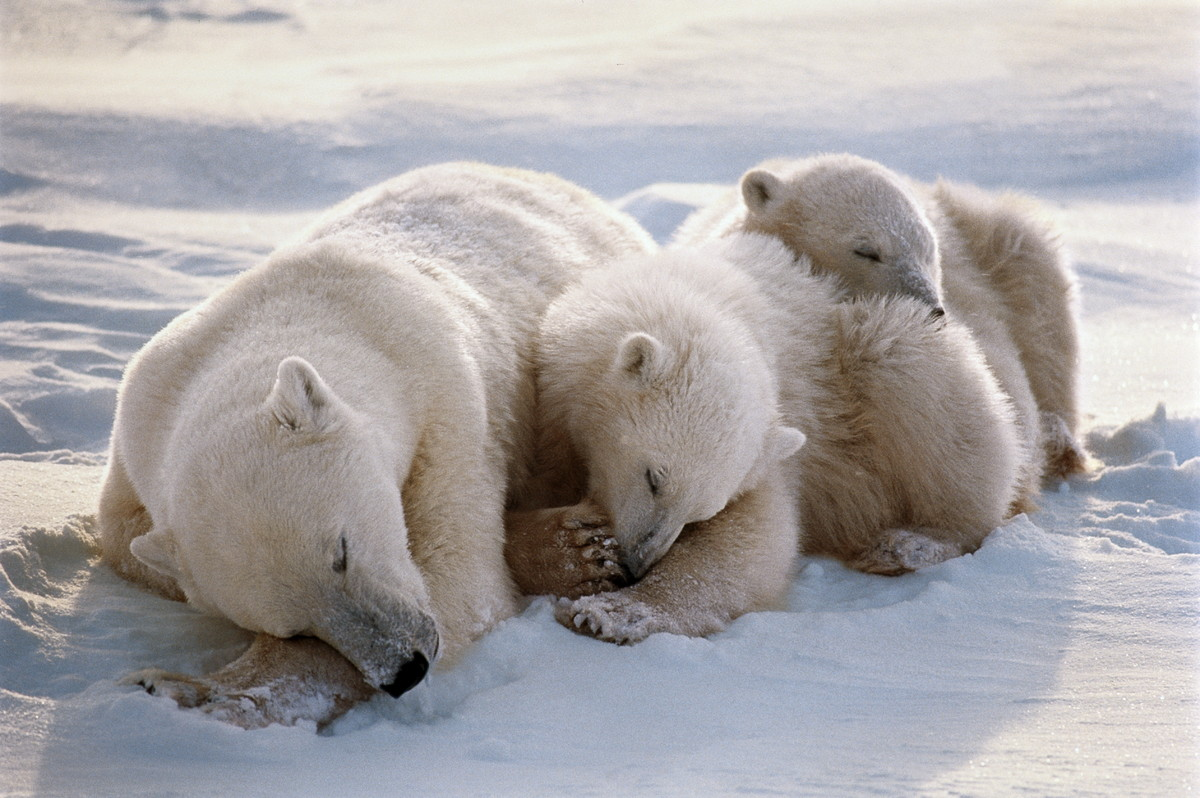 The world's biggest congregation of polar bears occurs each fall in the Canadian province of Manitoba. A large tourism indust