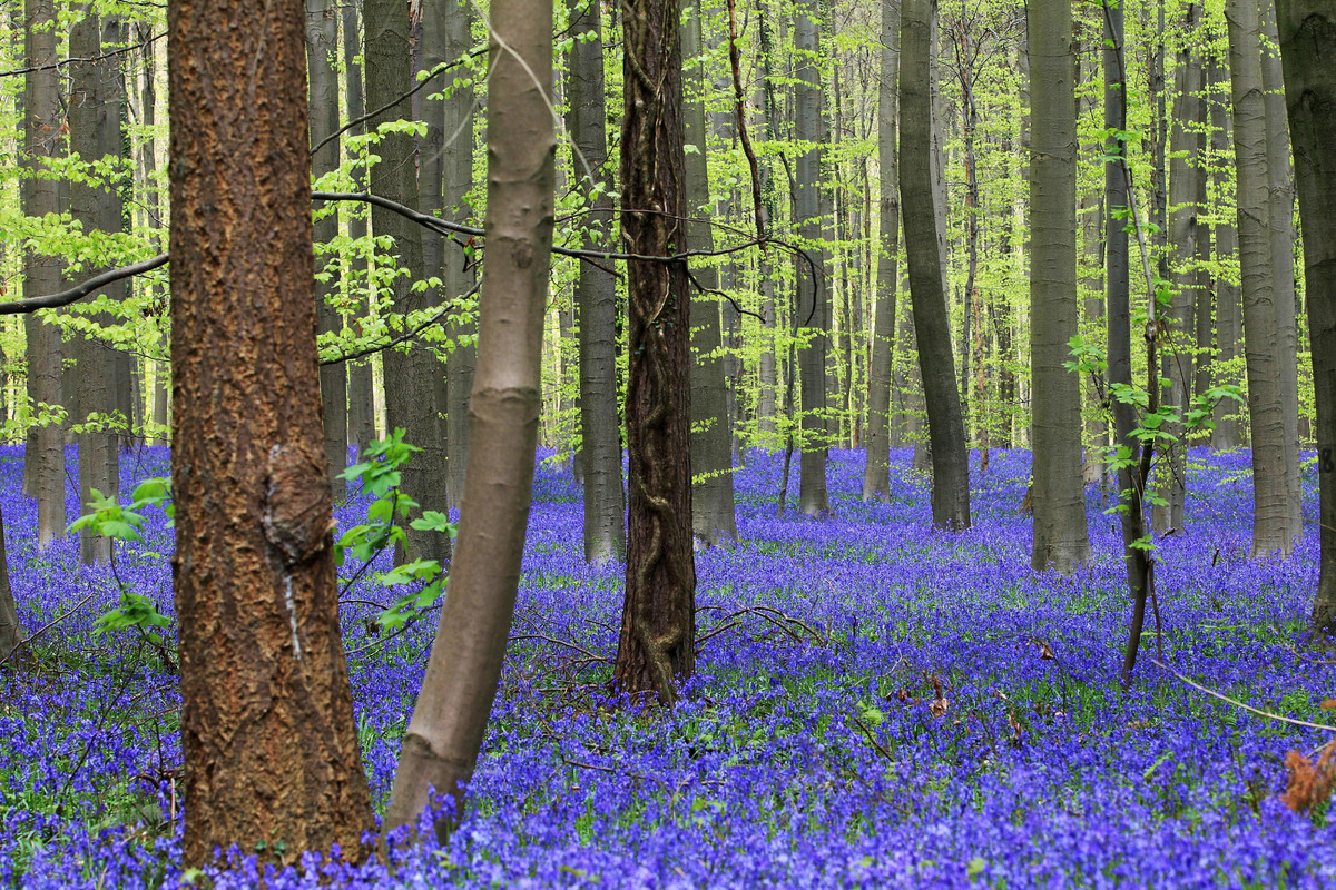 Thousands of Bluebells bloom in a forest near Halle, south of Brussels, Tuesday, April 15, 2014. (Yves Logghe/AP)