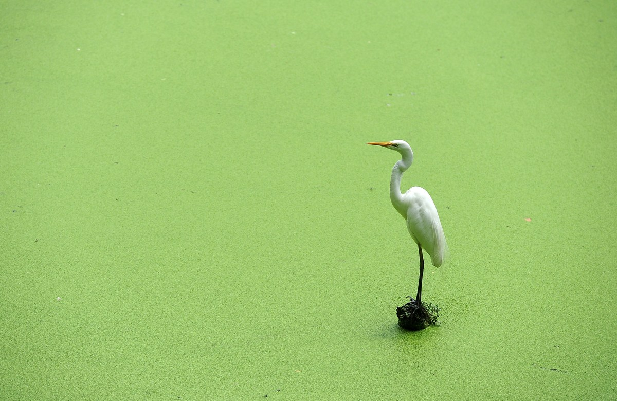 An egret perches on log submerged in a lake at a zoo in Dehiwala near Colombo on April 29, 2014. Sri Lanka has a rich bird li