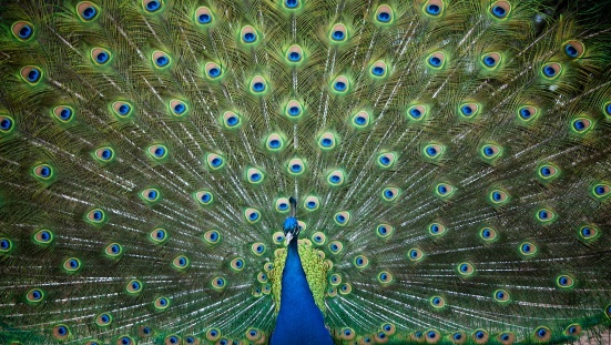 Peacocks are social creatures, and one form of comradeship you may see is the tag game, in which the opponents (usually young