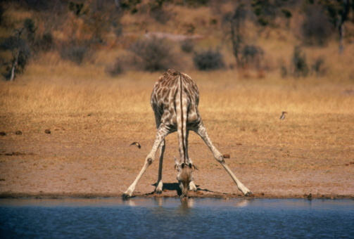 A giraffe's front legs are so long that its neck is too short to reach the ground. To get a drink, the normally dignified gir