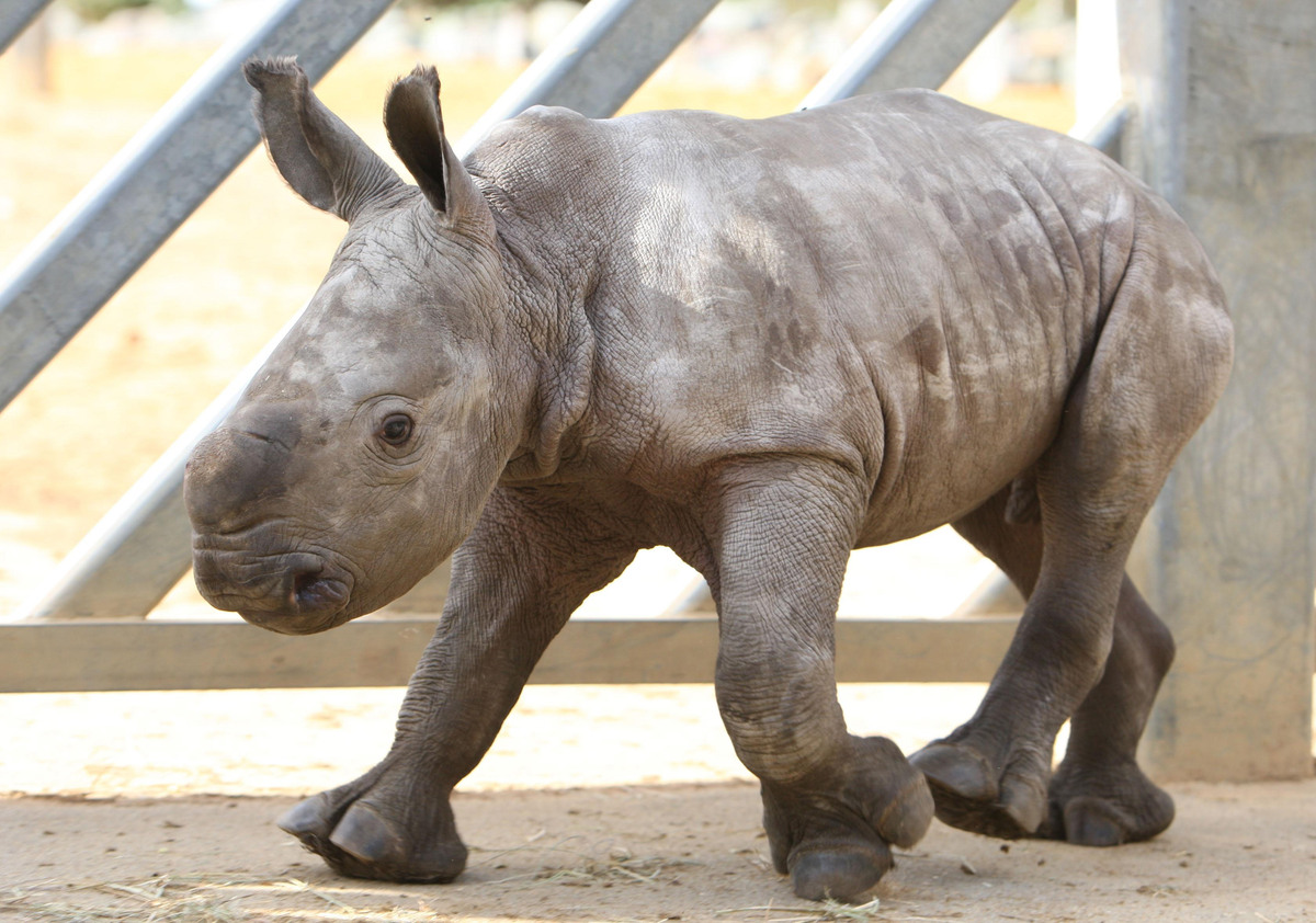 Zamba, the baby white rhino makes an appearance at Colchester Zoo as keepers celebrate the arrival of the first white rhino t