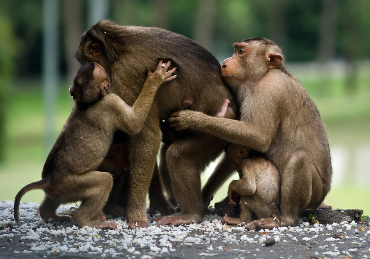 A group of wild macaque monkeys eat rice left by people in Kuala Lumpur on May 6, 2014. The monkeys are commonly found living