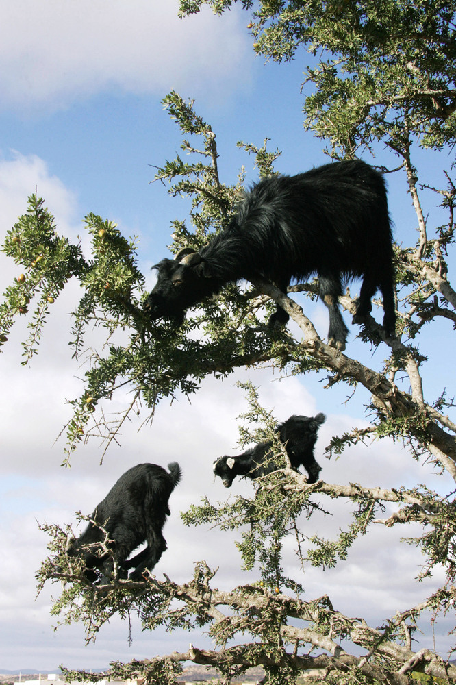 Goats climb an Argan tree 25 May 2006 in search of the tree's bitter fruits, near Taroudant. The Argan (Argania spinosa) is e