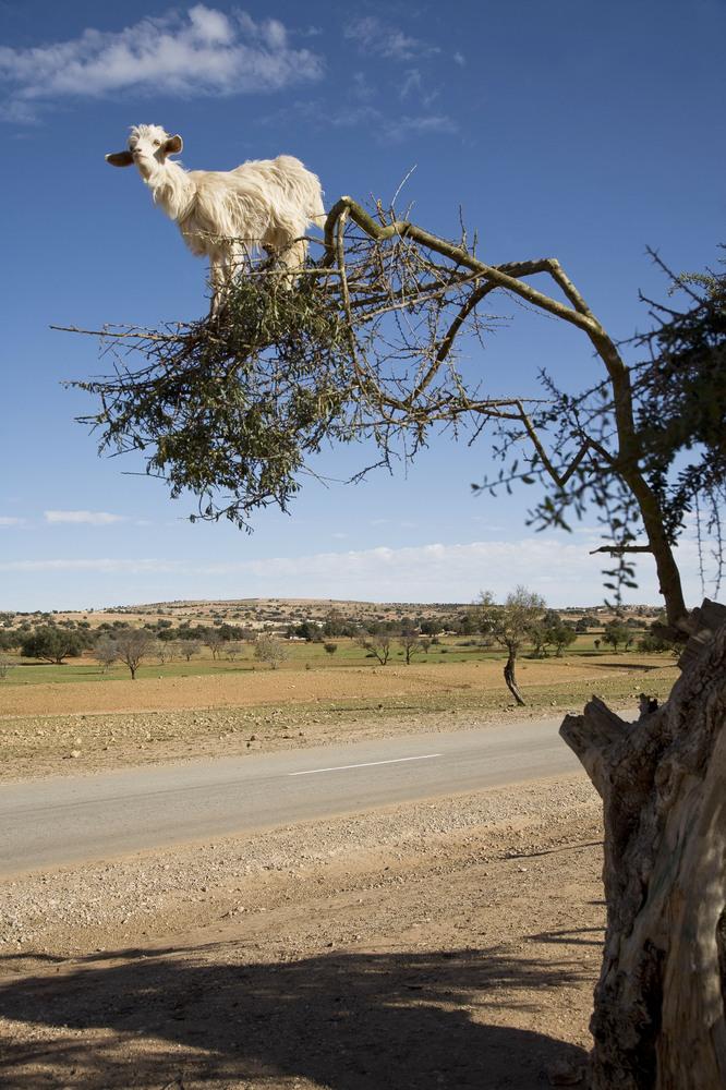 Goat in Tree, Morocco