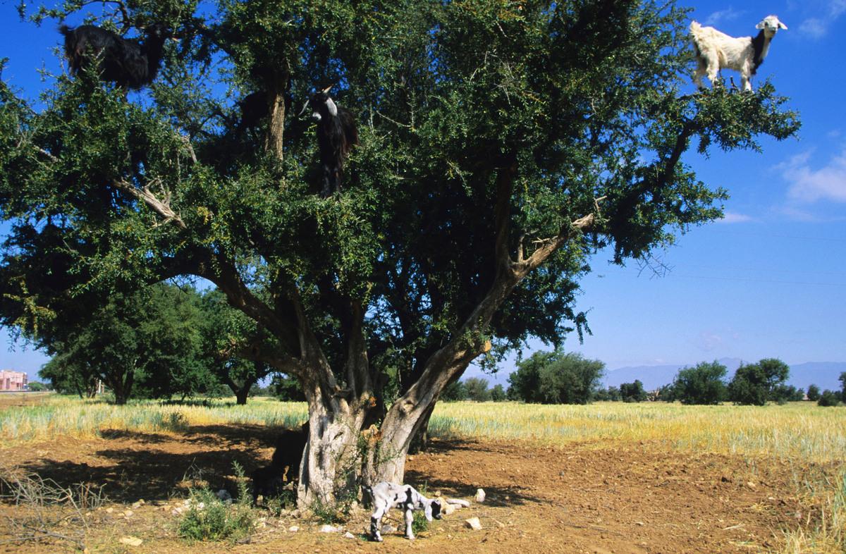 Goat (Capra hircus) feeding on argan tree (Argania spinosa), Southwest Area, Morocco
