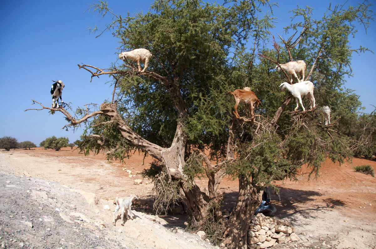 This photo taken on August 26, 2012, shows goats climbing up an Argan tree to its fruit, near Essaouira. (Fadel Senna/AFP/Get