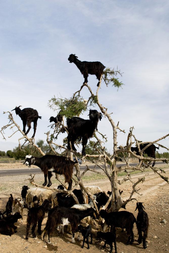 Black goats in an Argan tree