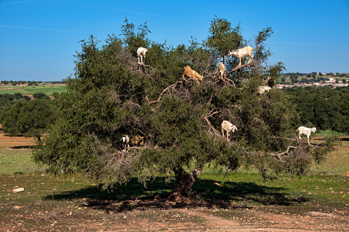 Goats on an Argan tree eating fruits near Essaouira. (Raquel Maria Carbonell Pagola/LightRocket/Getty Images)