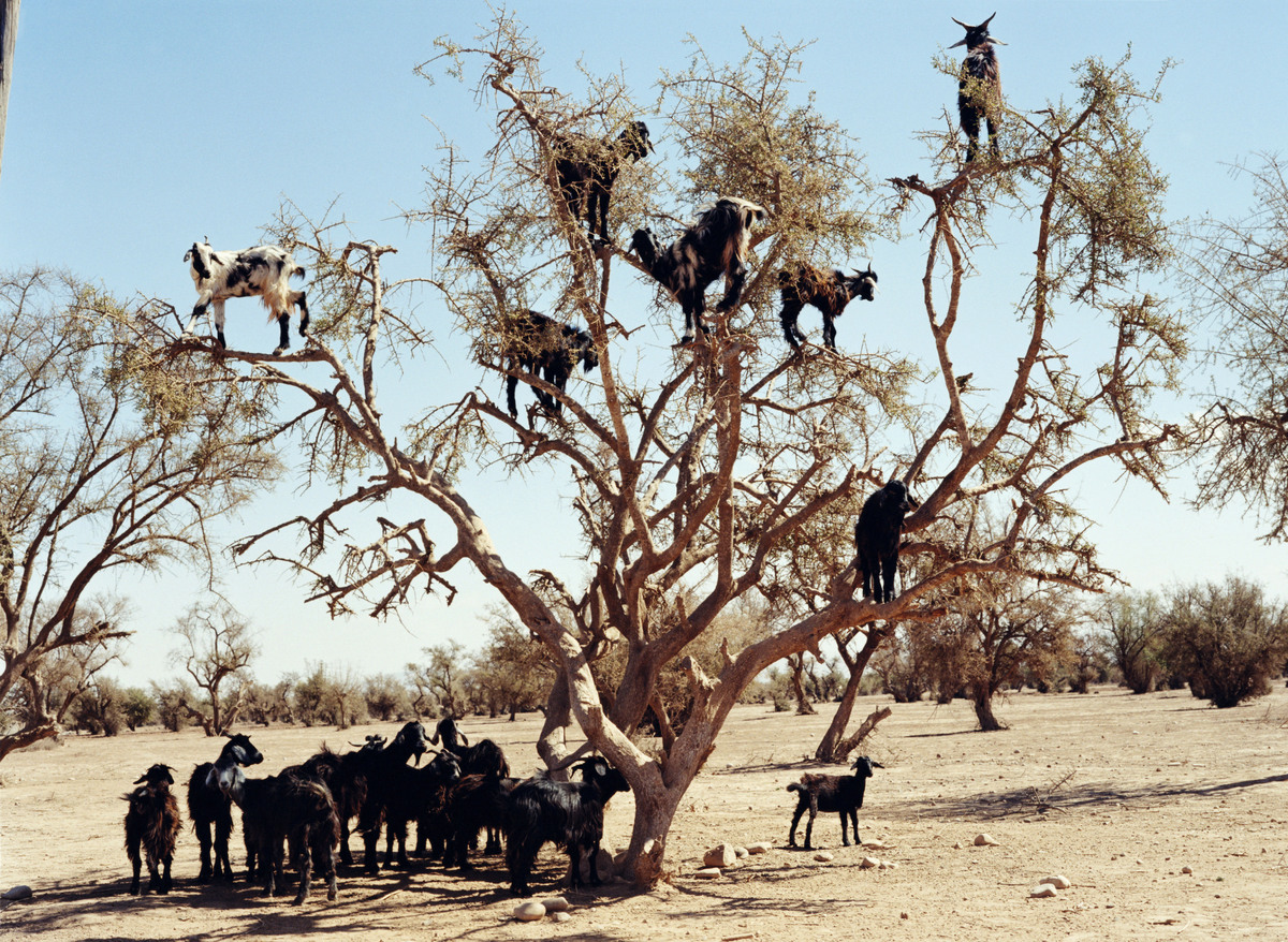 Goats foraging for food in a tree, Morocco.