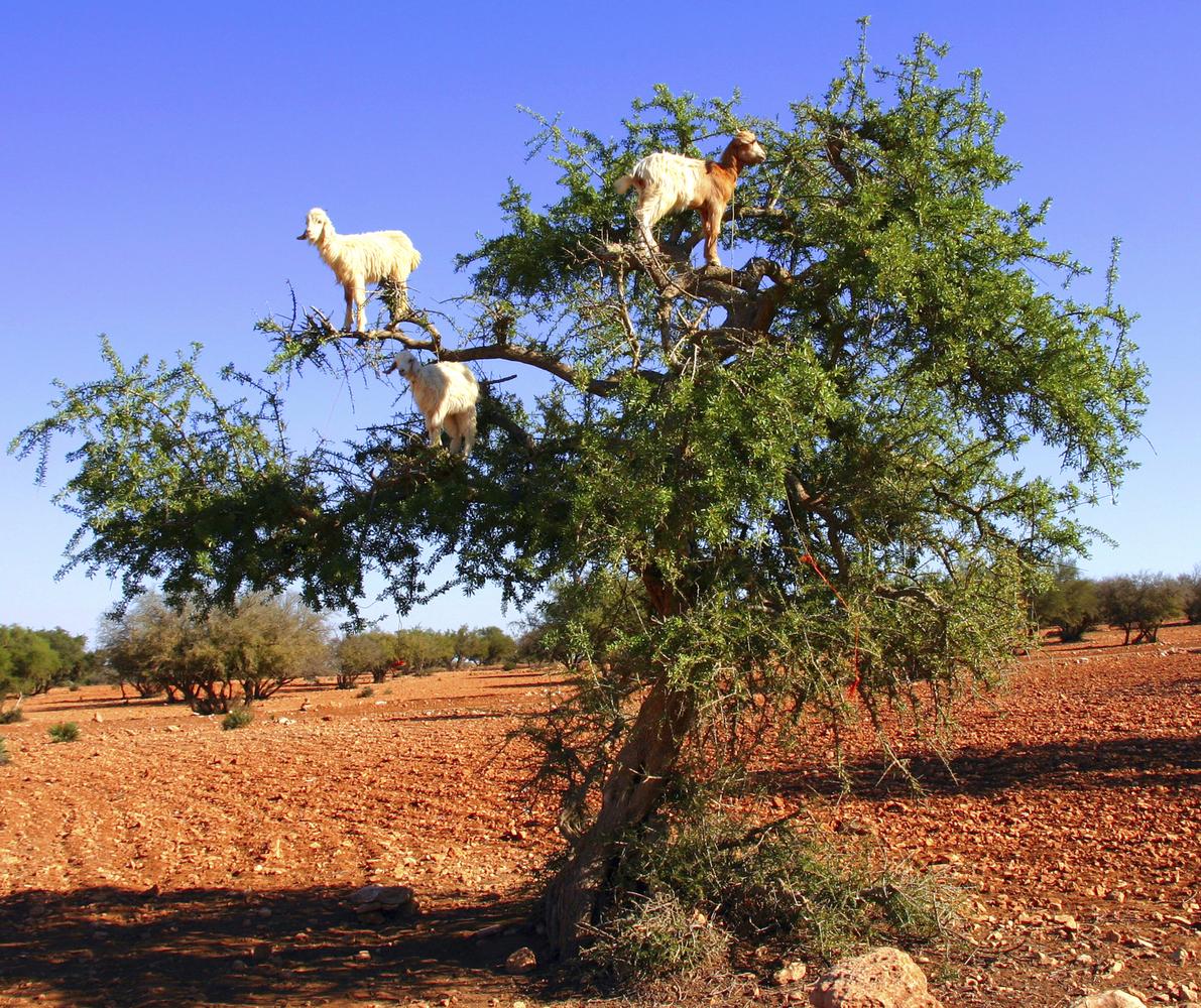 Morocco Goats