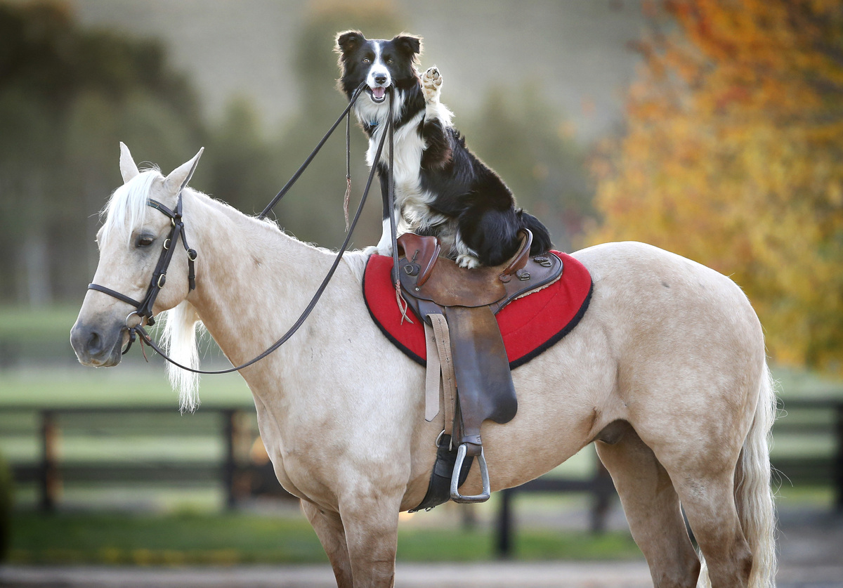 Border collie Hekan rides on the back of stunt horse Kiko.