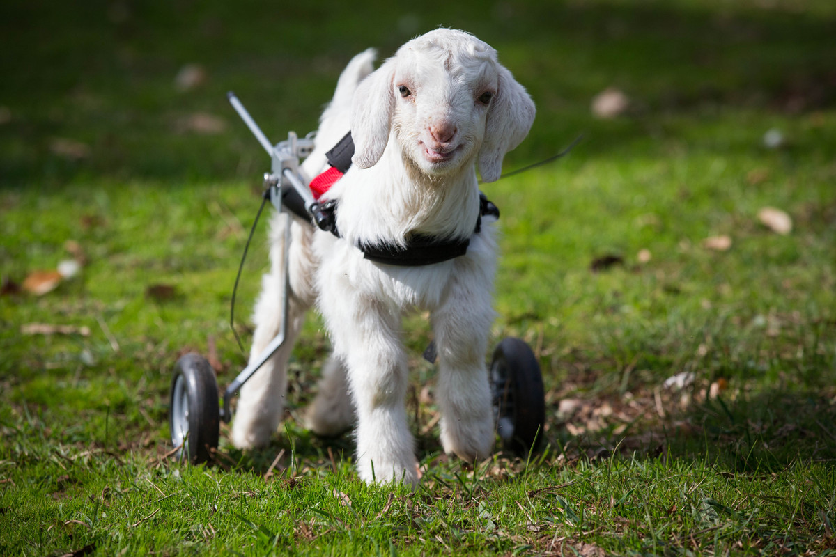 This Baby Goat Is So Happy With His New Wheelchair, And We Just Can ... for Happy Sheep Gif  268zmd