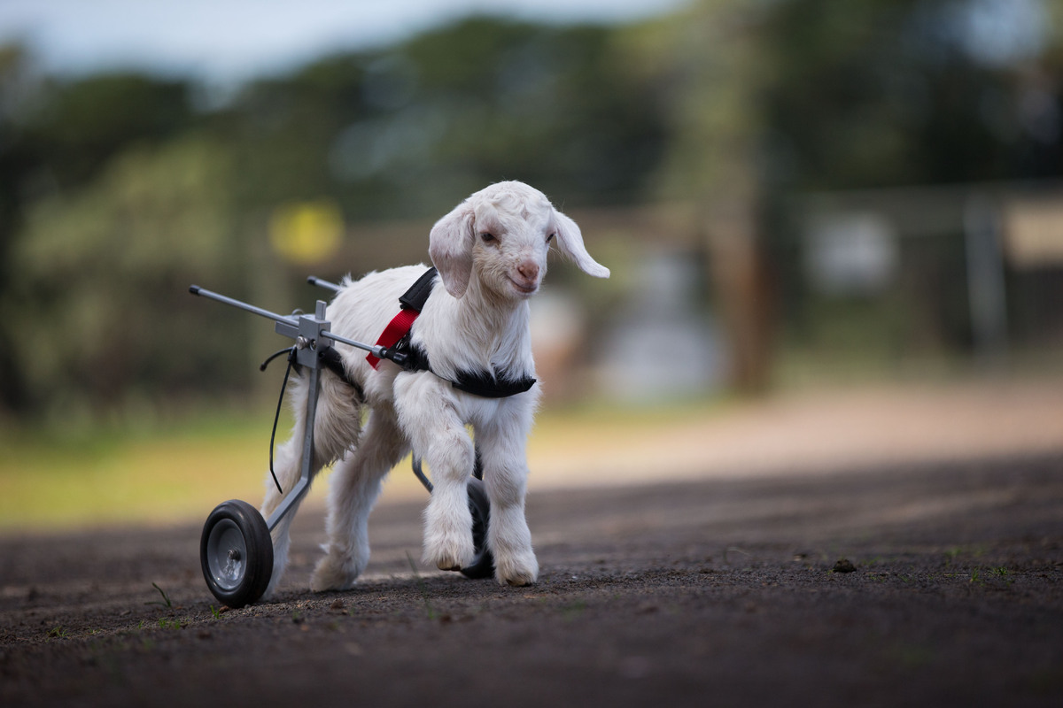 This Baby Goat Is So Happy With His New Wheelchair And We Just Cant Even