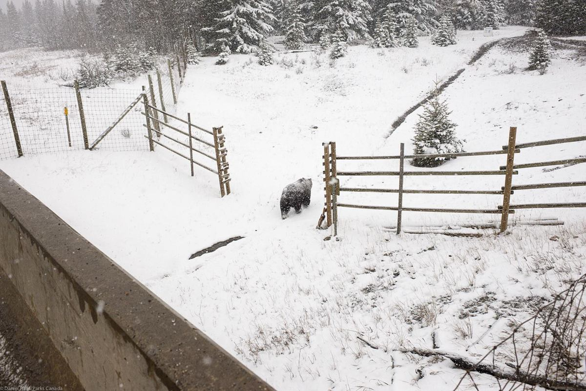 A bear passes under a wildlife corridor in Banff National Park.