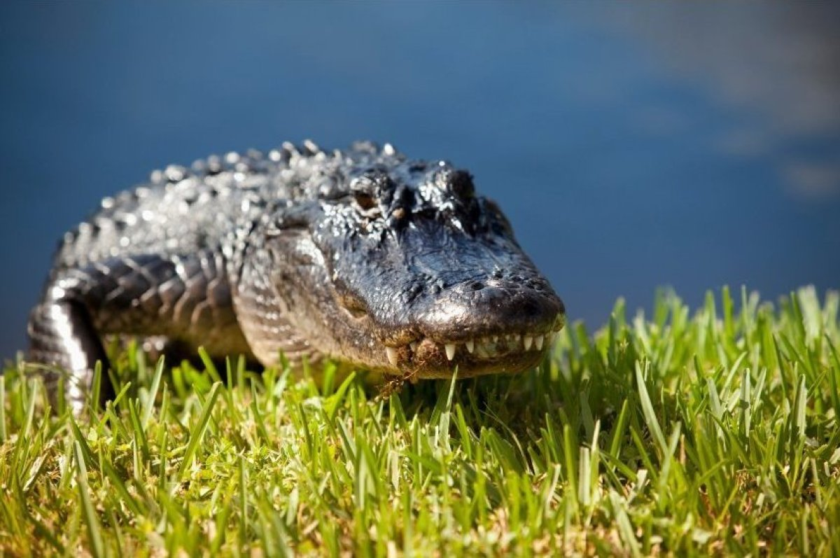 "The <strong><a href=""http://bit.ly/1n5Locj"" target=""_hplink"">Florida Everglades</a></strong> is home to many endangered speci"