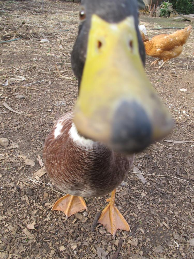 This is one happy rescue duck! Goose is now fully grown and his owner says he plans to get more ducks for him to be friends w