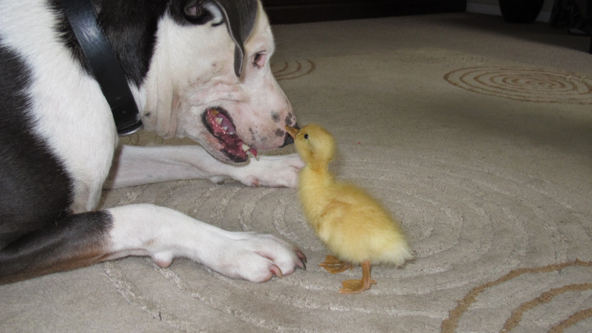 """""""I was hesitant to let the dog near Goose at first as I did not know how well they would get along. <a href=""""http://imgur.com"""