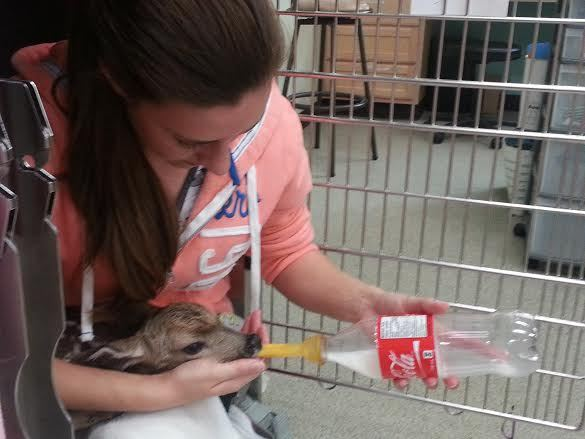 """A <a href=""""http://www.huffingtonpost.ca/2014/05/29/bambi-baby-deer-video_n_5407026.html"""" target=""""_blank"""">fawn, who was found"""