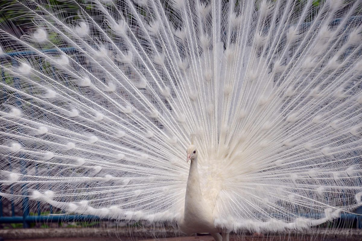 A white peacock opens its plumage at the Nogeyama zoo in Yokohama, suburban Tokyo on May 25, 2014.  Visitors enjoy a male Ind