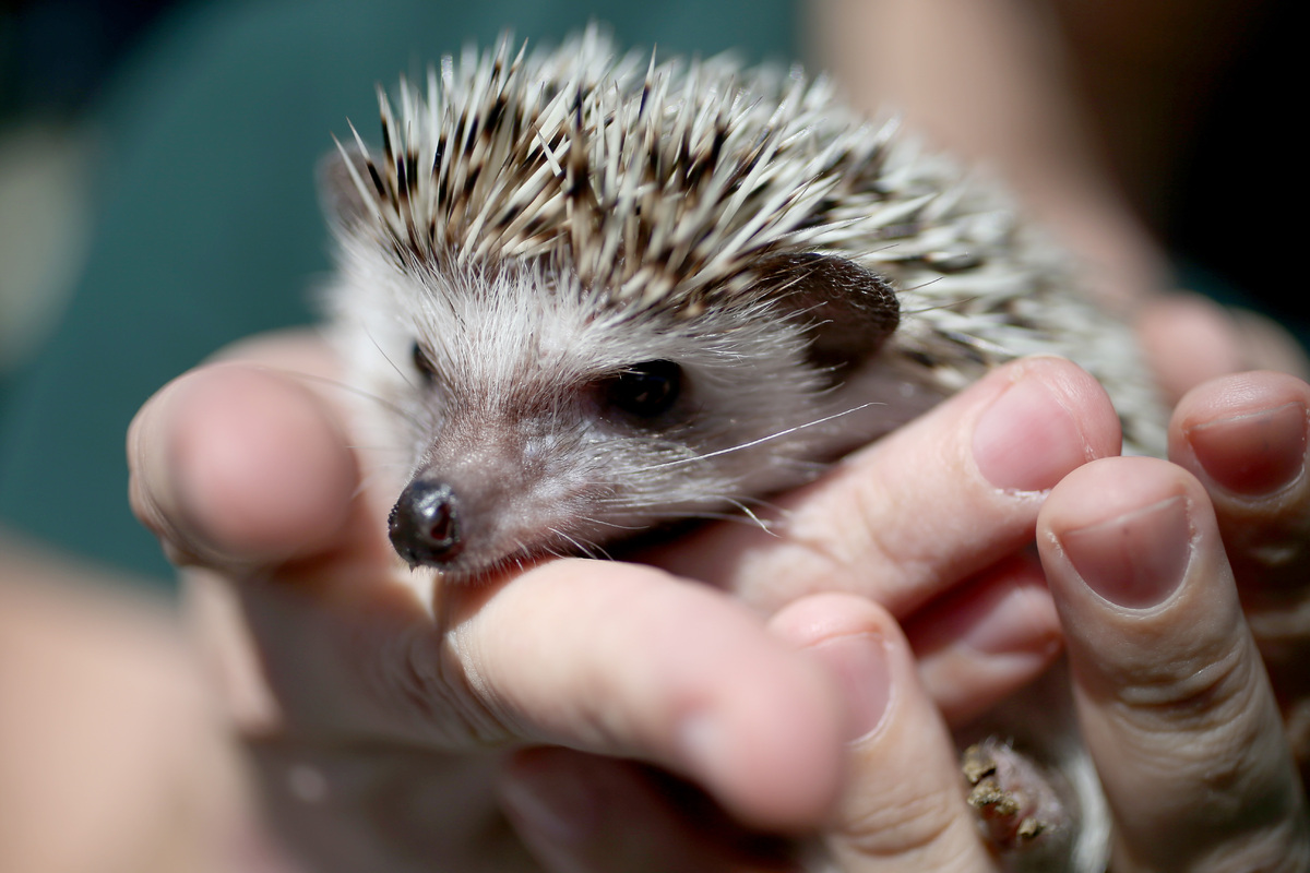 FORT LAUDERDALE, FL - JANUARY 22: A hedgehog is seen during a press conference by the Florida Fish and Wildlife Conservation