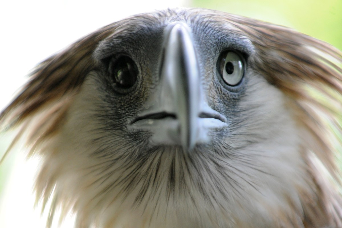 Gerlie, a Philippine eagle, is seen in a government wildlife centre in Manila on June 6, 2014, as the government celebrates t