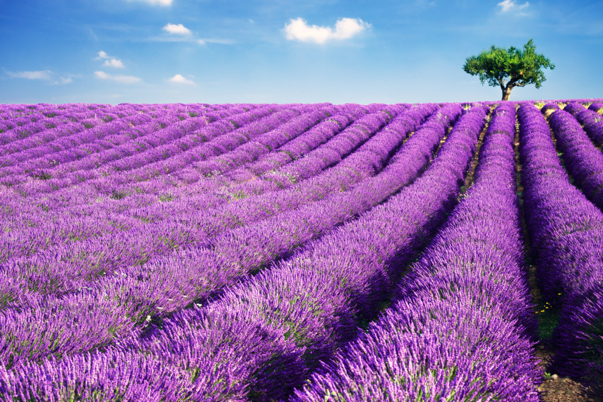 As a go-to scent for relaxation, lavender can help calm the mind and body almost instantly. But perhaps its most useful benef