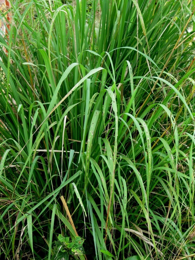 """It is tall a perennial grass, which means it comes back year after year. The plants <a href=""""http://www.growingherbsforbeginn"""