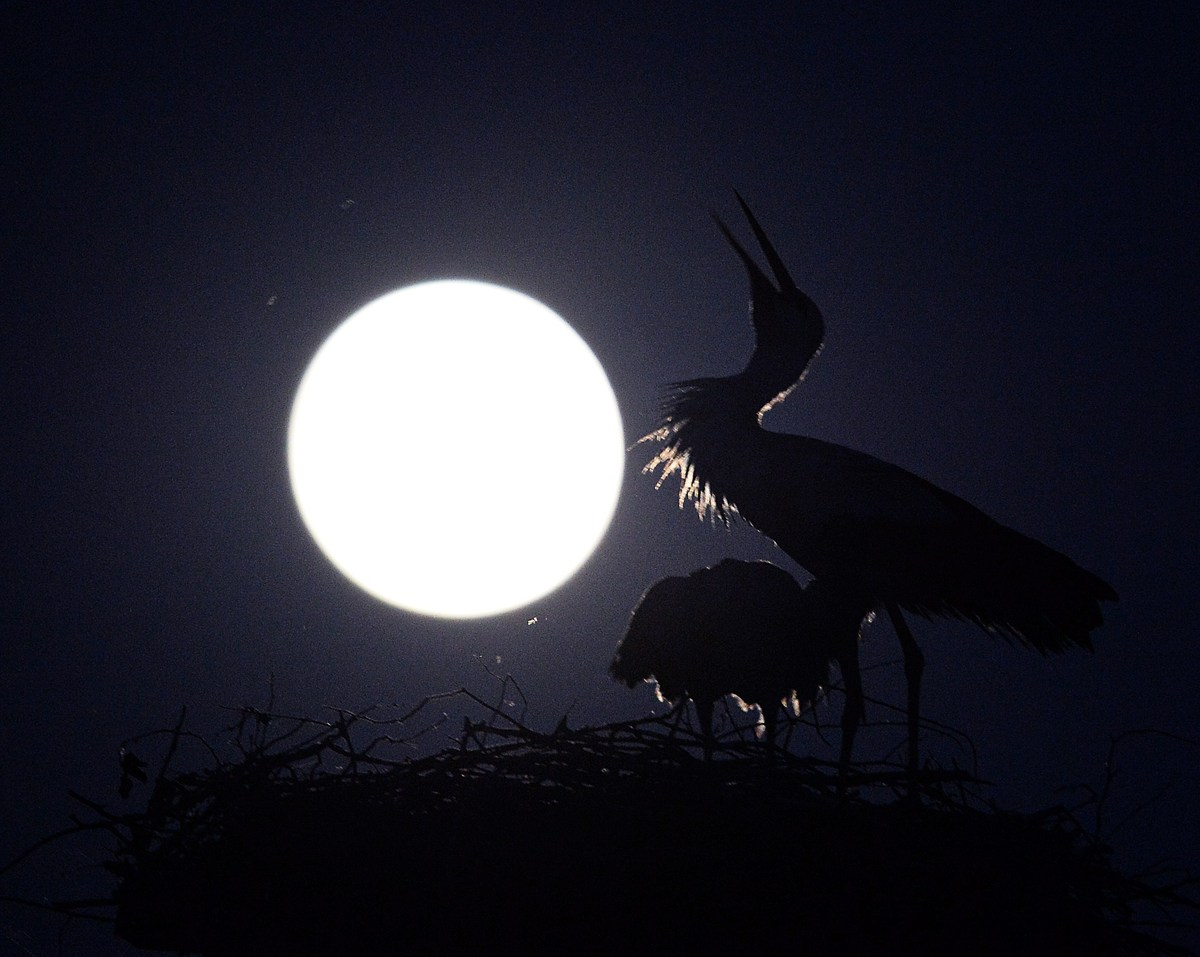 A couple of stork stand in a nest during a full moon on a clear night on June 12, 2014 in the Popielarze village near Warsaw,