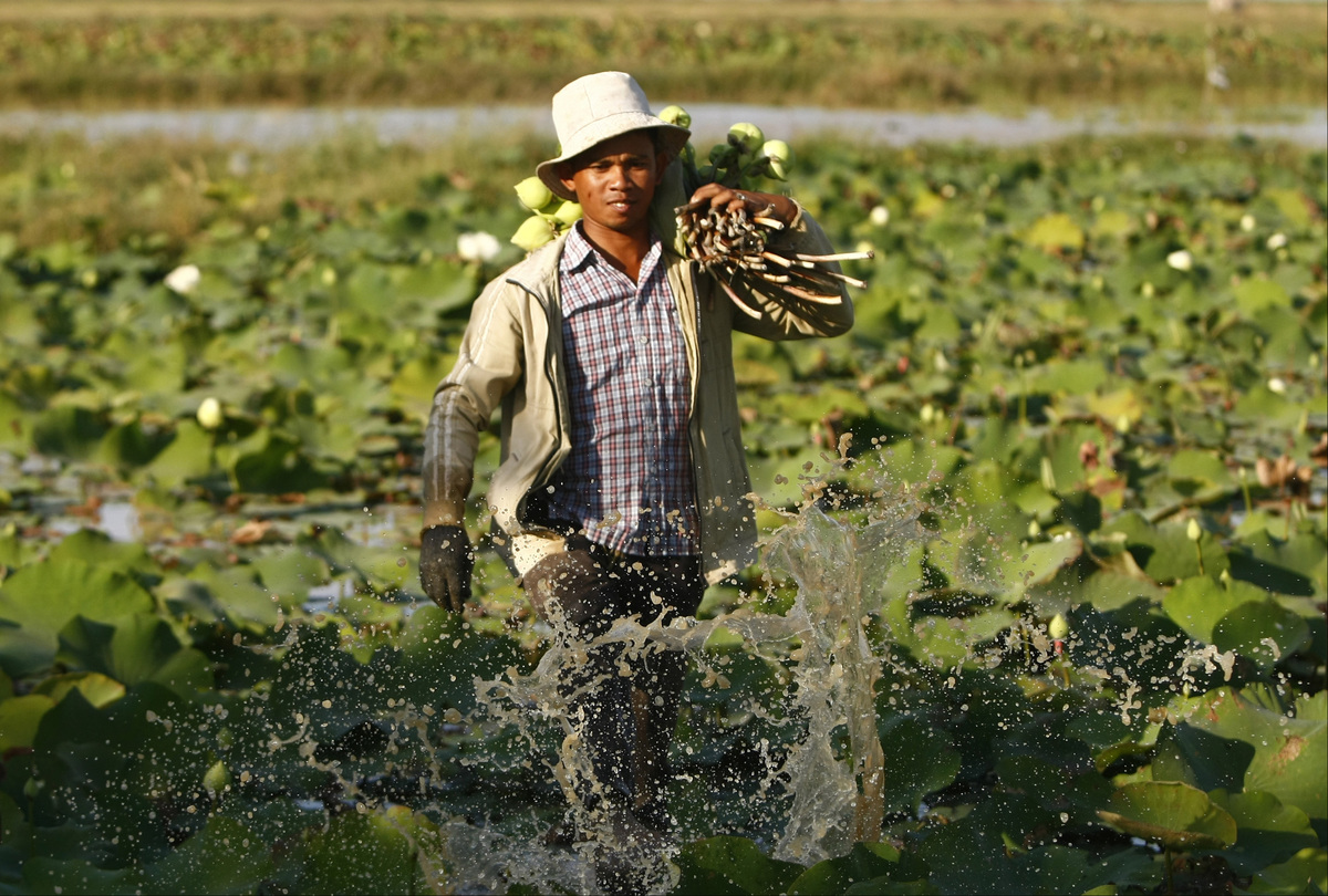 A Cambodian farmer cleans lotus flowers and stems by using his feet before collecting them at a lotus farm, and then he prepares them for selling to the Buddhist followers