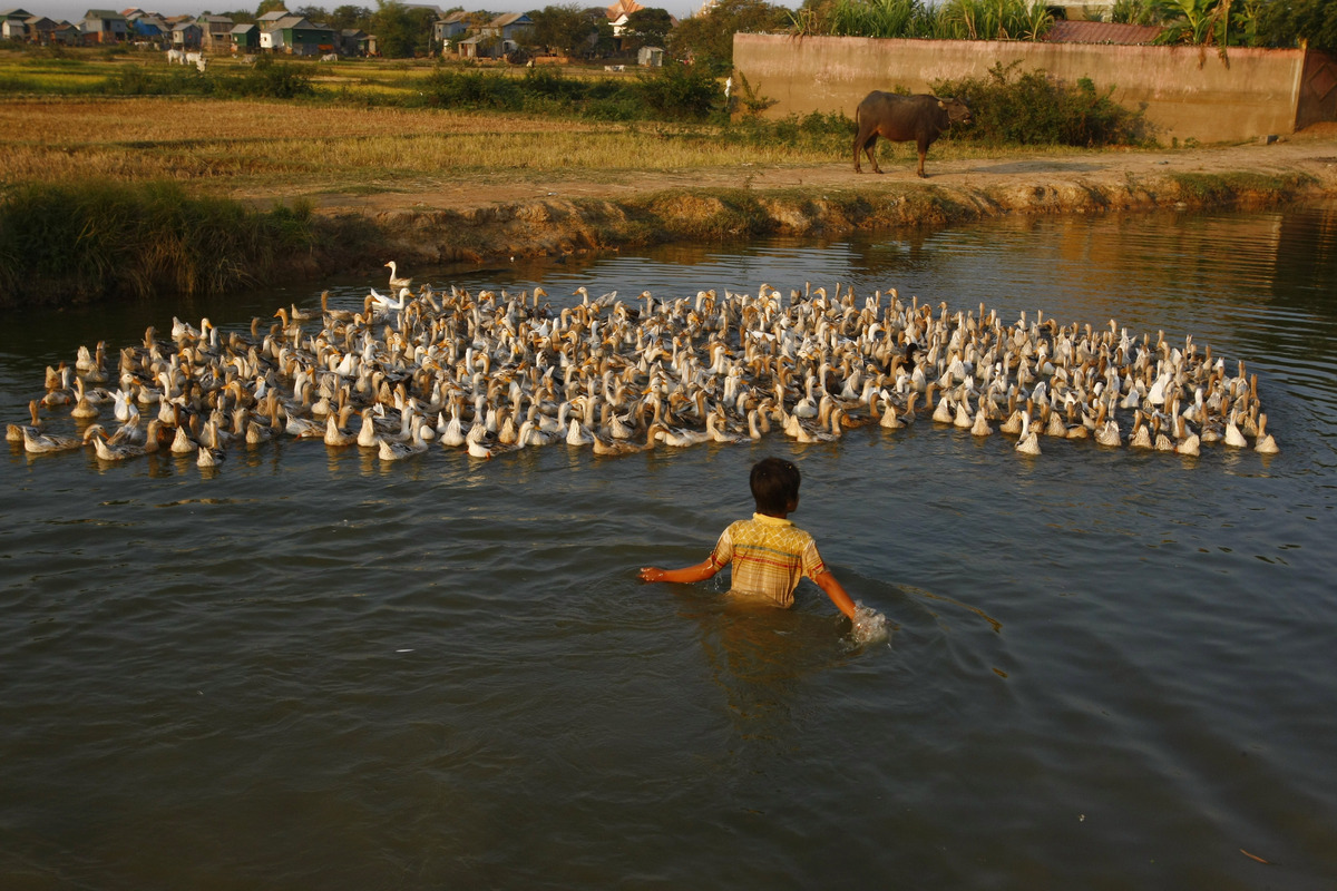 A boy herds ducks in a canal in Samroang Kandal village at the outskirts of Phnom Penh, Cambodia, Saturday, March 1, 2014. (Heng Sinith/AP)