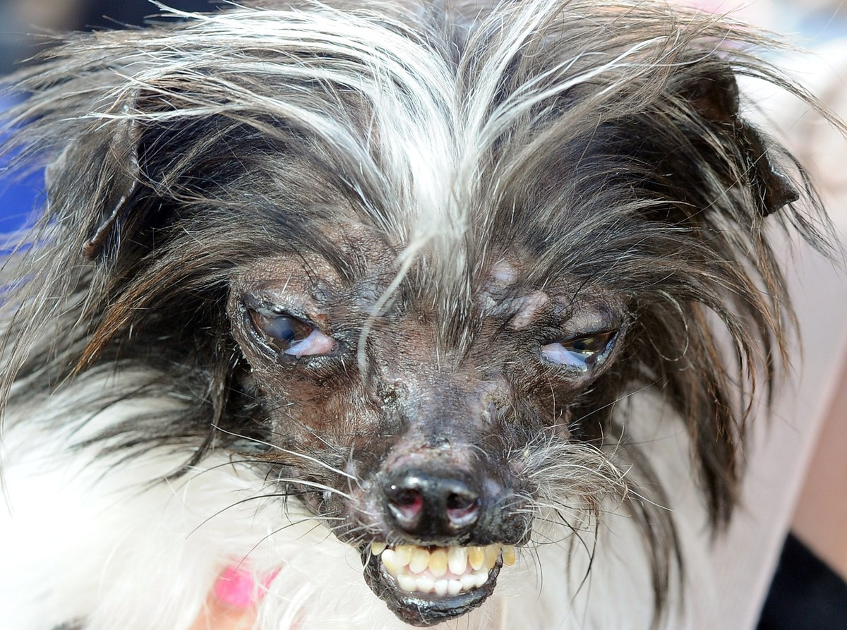 Peanut, a mutt who is suspected of being a Chihuahua-Shitzu mix, is seen at The World's Ugliest Dog Competition in Petaluma,