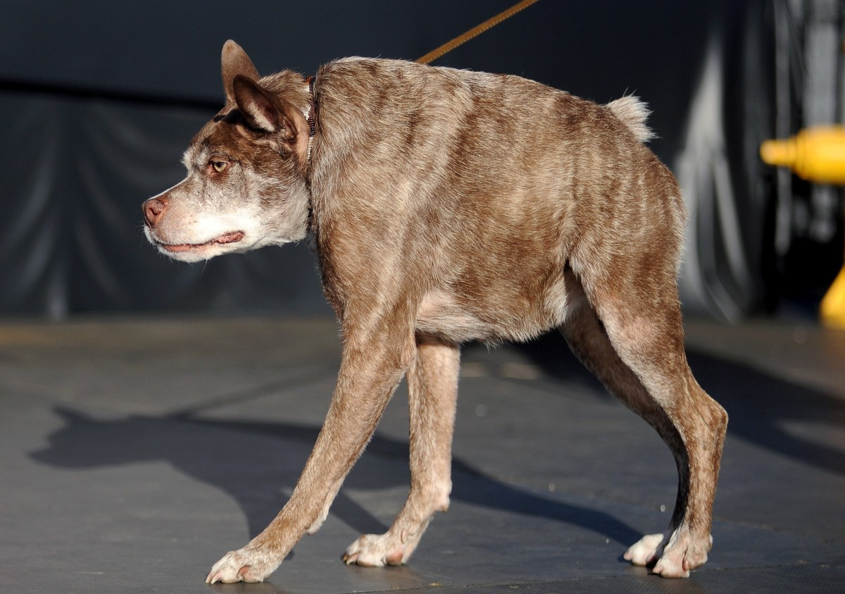 Quasi Modo, whom the owner claims has a back too short for its body, walks on the stage at The World's Ugliest Dog Competitio