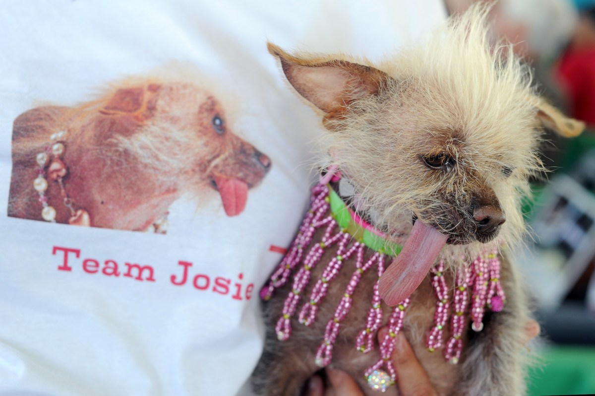 Josie, a Chinese Crested sticks out its tongue at The World's Ugliest Dog Competition in Petaluma, California on June 20, 201
