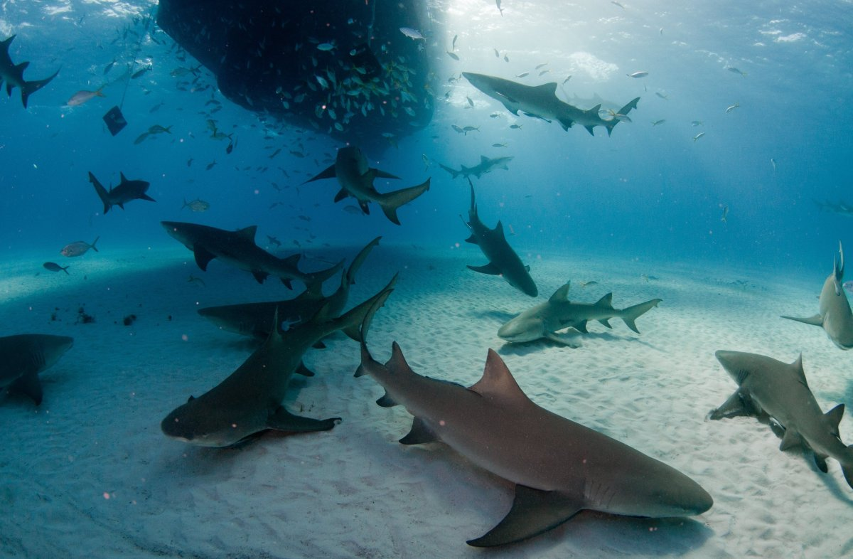 These small sharks are named for their buttery yellow skin color. Most grow no larger than 12 feet long, but they have been k