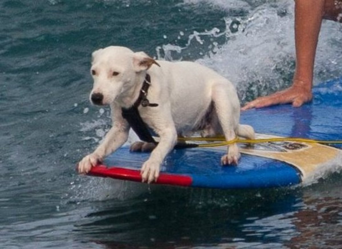 Take a break from catching frisbees, and catch a wave at the beach. Surfing is a pawsome way to stay fit this summer.  <em>