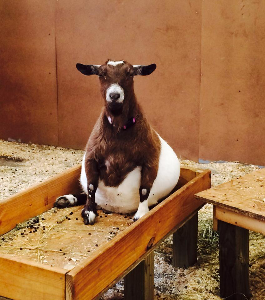 This Pregnant Goat Will Forever Change What You Think Is Beautiful -6772