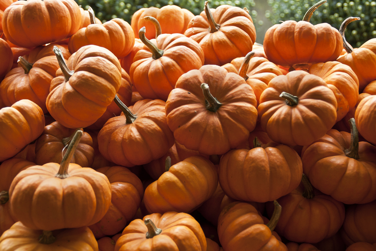 """A cup of cooked, mashed pumpkin contains <a href=""""http://nutritiondata.self.com/facts/vegetables-and-vegetable-products/2601/"""