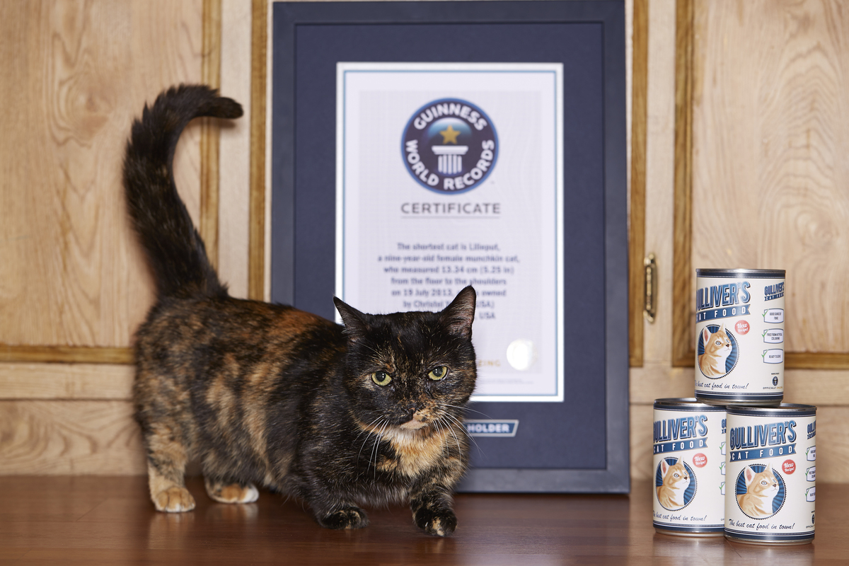 The Worldu0027s Shortest Cat Is Lilieput, A Nine Year Old Female Munchkin Cat. Guinness  World Records