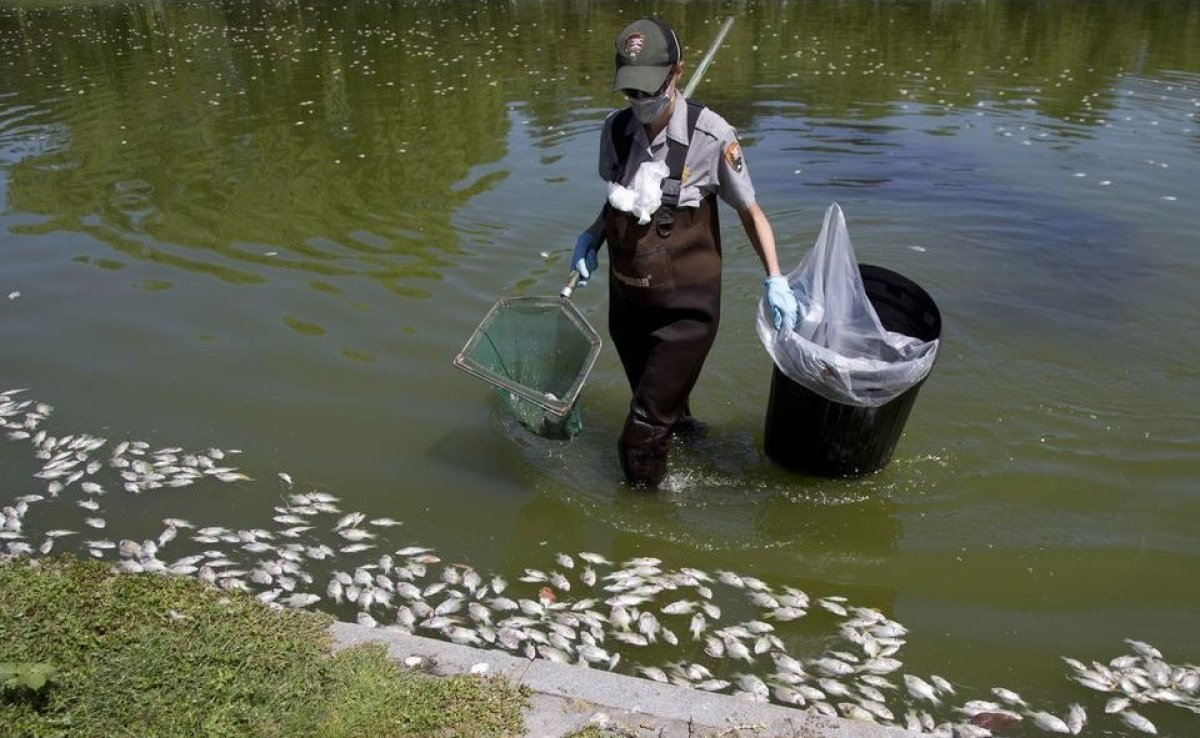 Every summer, hundreds of fish inhabiting the Constitution Gardens lake die from a lack of oxygen.  This is partly attributed