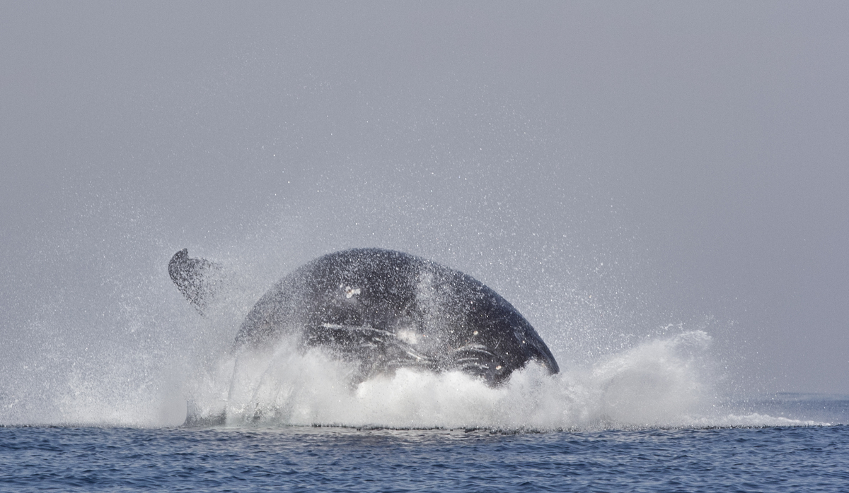 this glorious rainbow spouting humpback whale is the queen of the