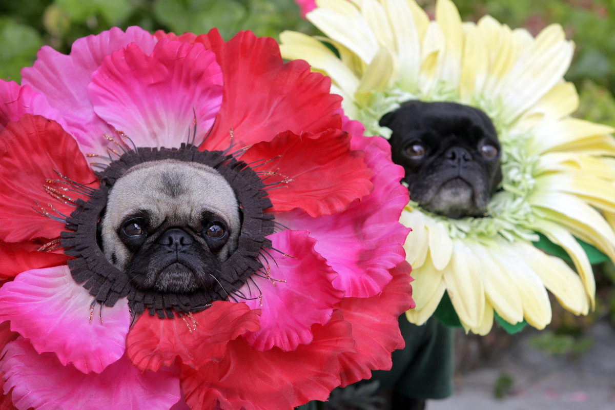 This photo taken Oct. 4, 2009 shows pugs Mochi, left, and Olive posing for a photo dressed in their Halloween costumes at flo