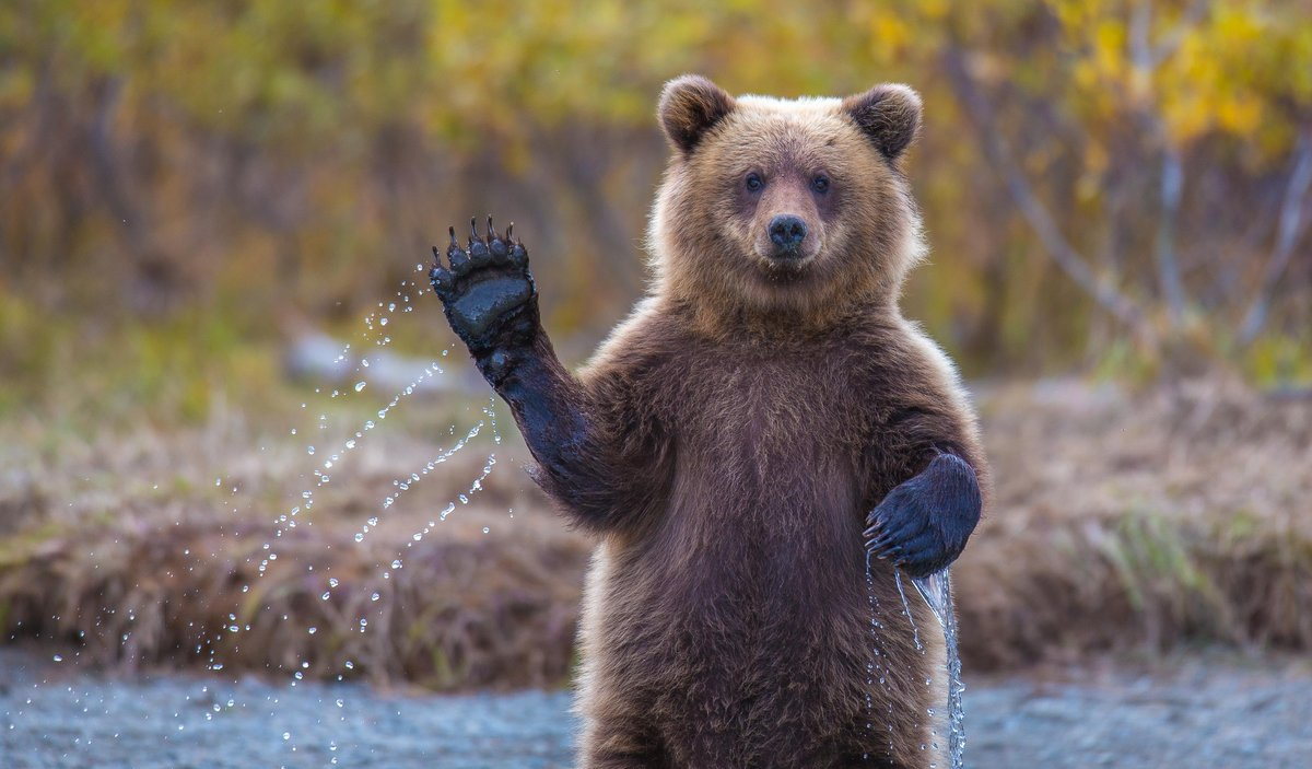 While watching her mother dive for salmon in the frigid glacier water of the Crescent River this young brown bear cub couldn'