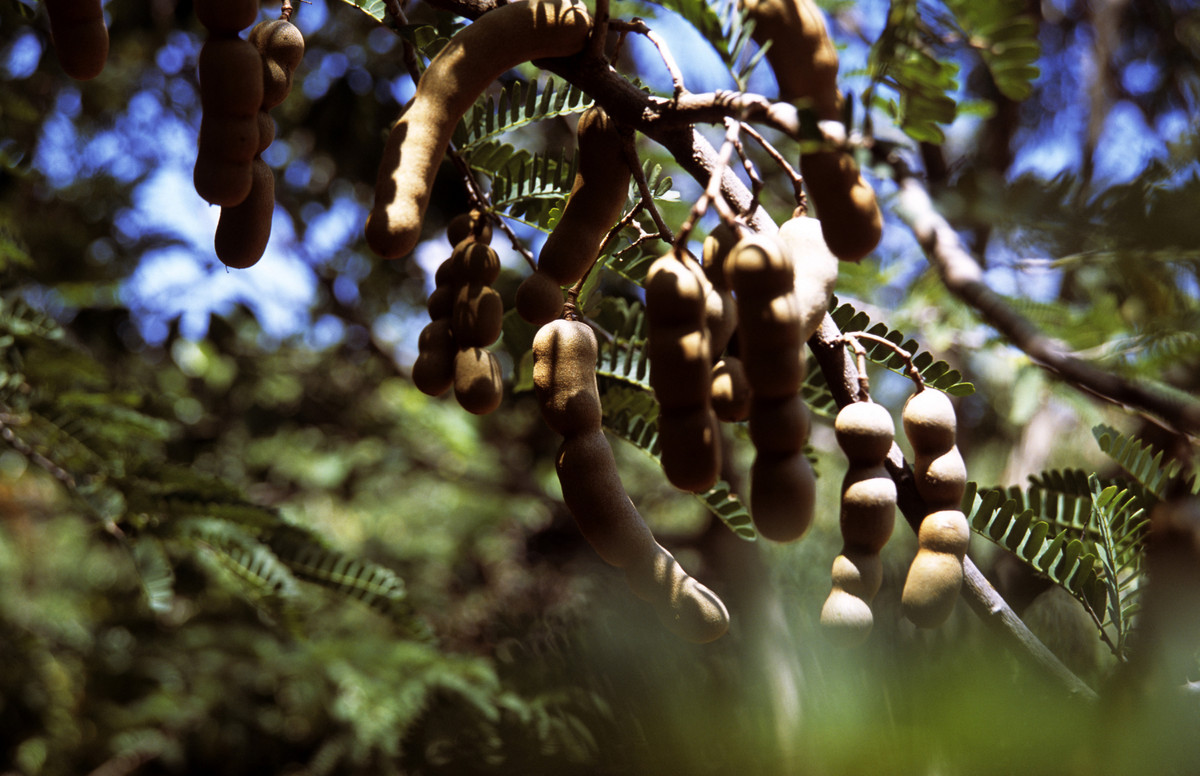 The tree grows well in tropical climates, so while it is originally from Africa, today the tamarind tree can be found growing