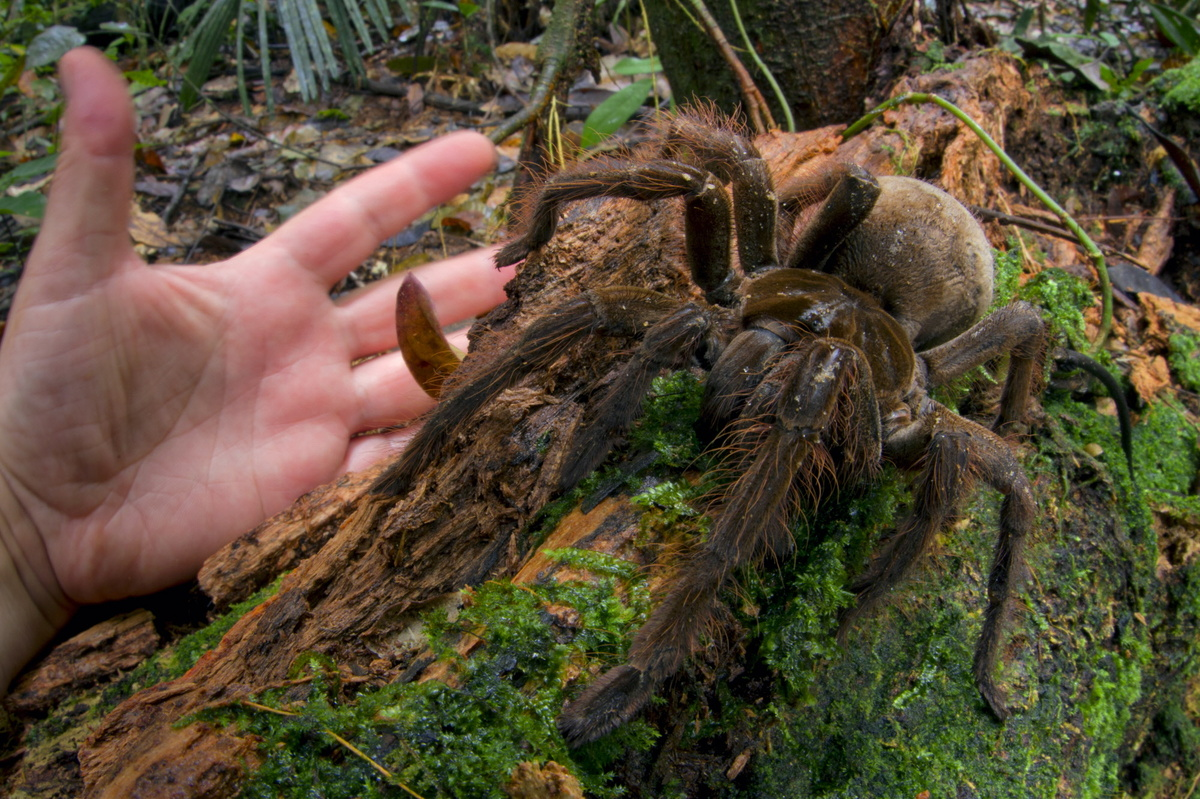 Goliath Bird-eating Spider  (Theraphosa blondi) next to a hand for scale.